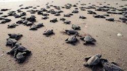 VIJETNAM: Zaplijenjeno preko tisuću krijumčarenih kornjači